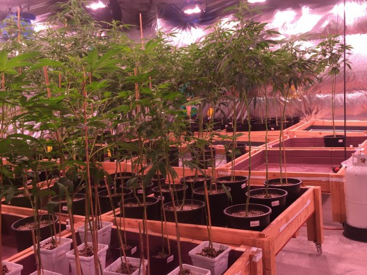 Introducing A Blog About The Legal Marijuana Industry (Which Is On Fire), Julie Weed